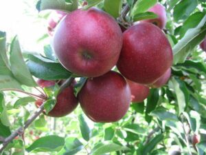 Red Jonaprince Miniature Apple Trees